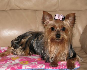 Home - Precious Yorkies - Small Colorful Yorkies